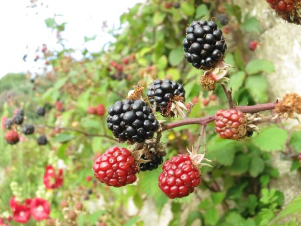 Wild blackberries, Scotland.