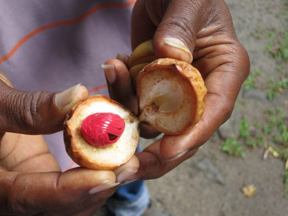 Fresh nutmeg in Saint Lucia.