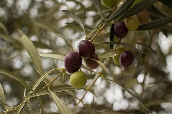 Nicoise olives ripening, Provence, France.