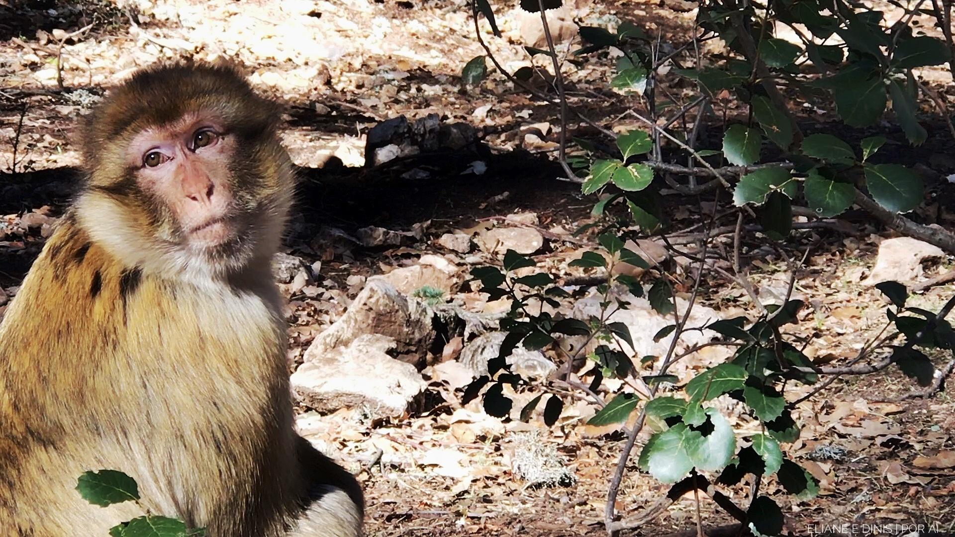 Macaco Berbere em Ifran
