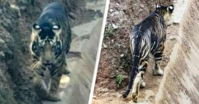 Редчайший черный тигр попал в объектив фотоаппарата