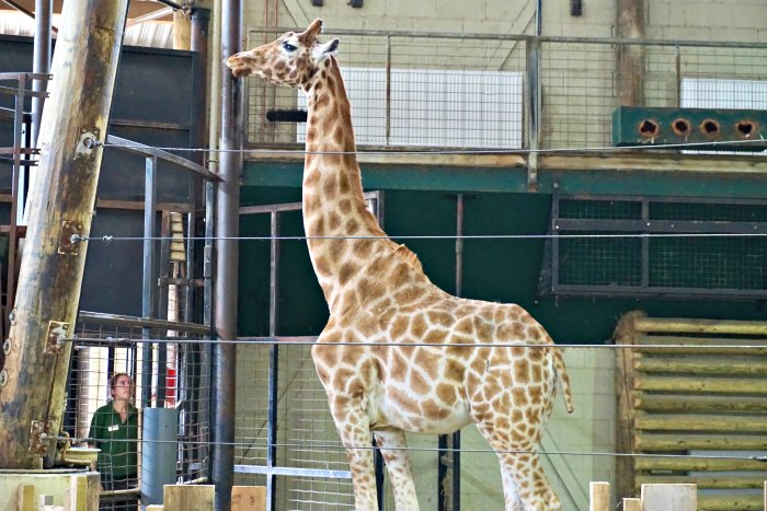 Matilda Giraffe