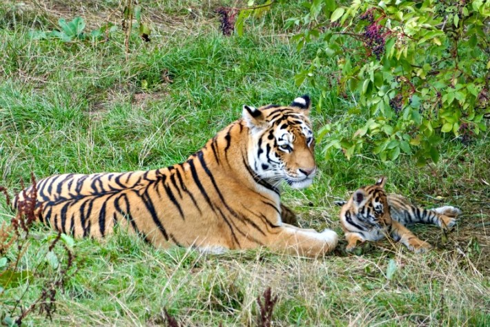 Amur Tiger Whipsnade