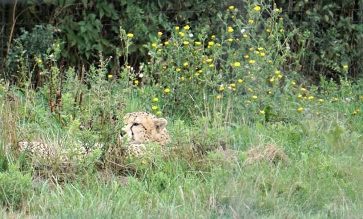 Cheetah in the grass