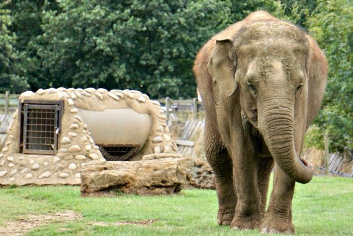 Elephant Whipsnade
