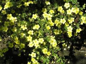 Shrubs chelsea nursery this is a large spreading shrub with gray green foliage and pale yellow flowers in summer mightylinksfo