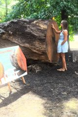 Aunt Maya figuring out how old the tree was. 173 year old.
