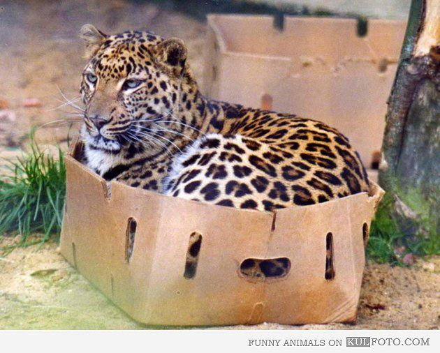leopard-in-box