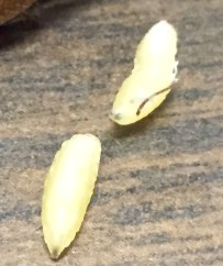 The tachinid fly larvae after they emerged.