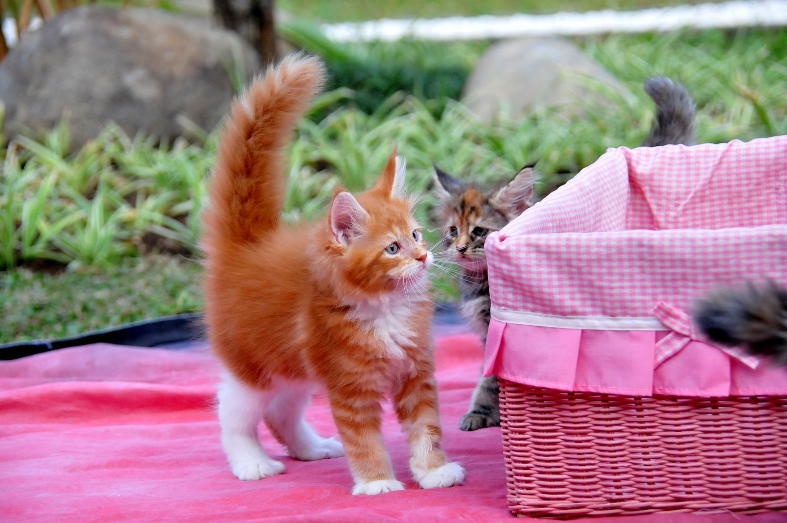 jual mainecoon, mainecoon cattery