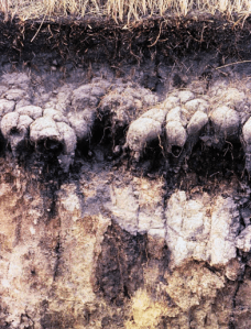 Salt Figure 1: Naturally Occurring Root Zone Salinity in Solonetzic Soil (Alberta Agriculture and Forestry)