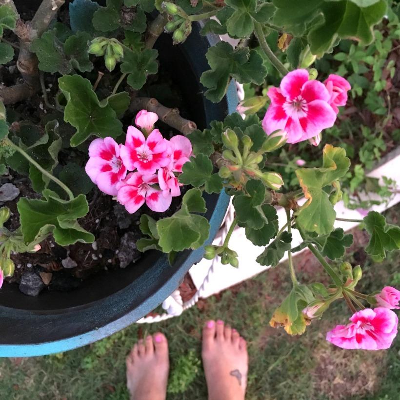 geraniums coming back