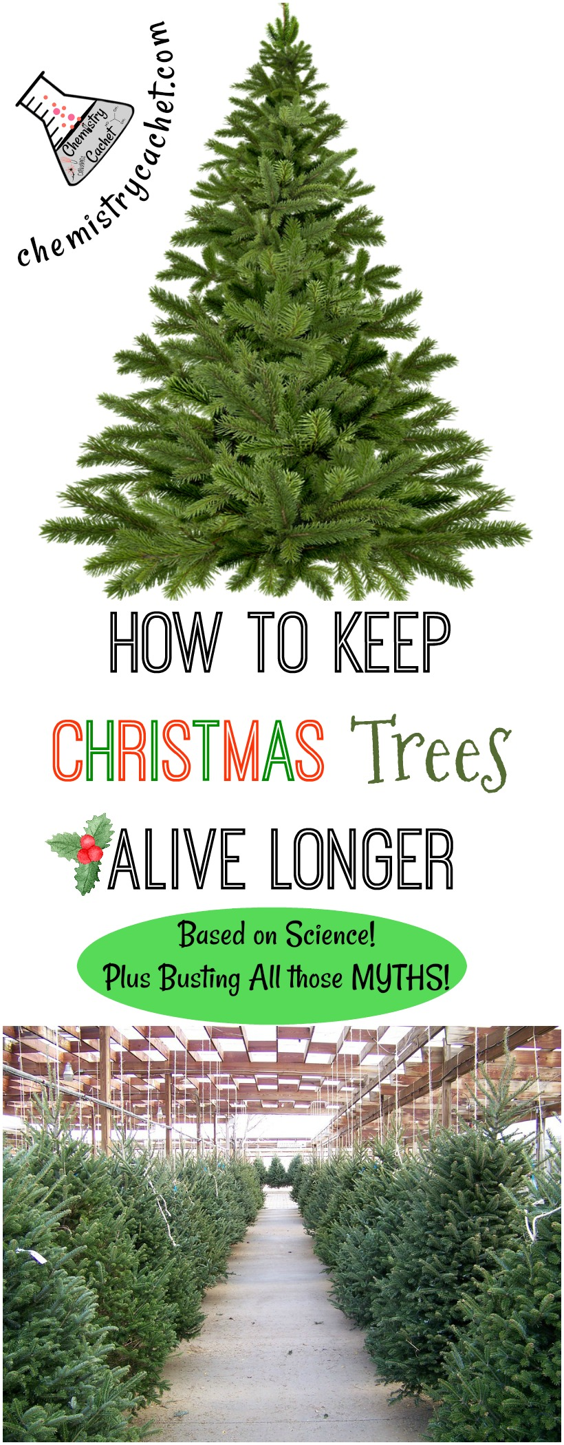 Busting all the myths out there! How to Keep Christmas Trees Alive Longer based on Science! on chemistrycachet.com