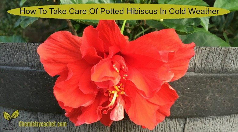 How To Take Care Of Potted Hibiscus In Cold Weather