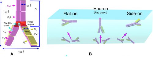 No ordinary proteins: Adsorption and molecular orientation of monoclonal antibodies