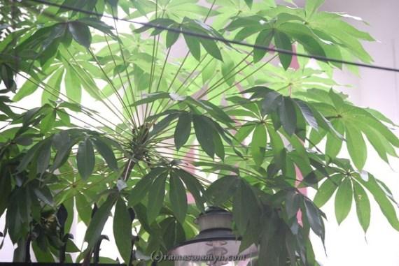Junglee Badam (or) Java Olive (or) Pinari
