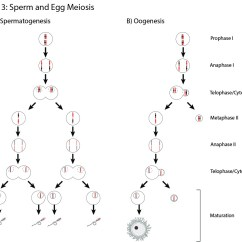 Stages Of Mitosis And Meiosis Diagrams Honeywell Thermostat Wiring Diagram Rth2300b Cheo Licensed For Non Commercial Use Only Figure 3 Sperm Egg