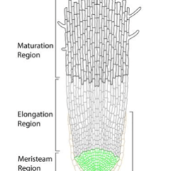 Onion Root Tip Diagram Pj Ranger Wiring Cheo Licensed For Non Commercial Use Only Mitosis And Meiosis Figure 5