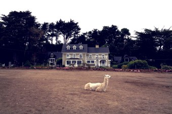 The Farmhouse at Glendeven Inn (and one of the llamas on the farm).