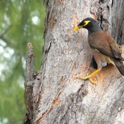 Mauritius bird Cherrylsblog.com DSCN0066