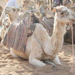 Zagora Sahara Camels