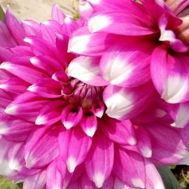 India Delhi Flowers pink cherrylsblog.com DSCN8972