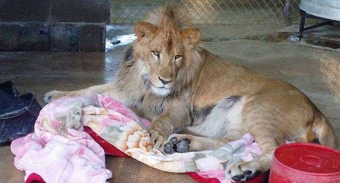 Лев, который не может уснуть без одеяла (7 фото)