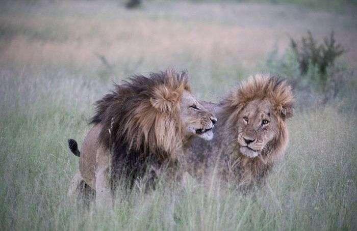 В Ботсване найдена пара львов-гомосексуалов (6 фото)