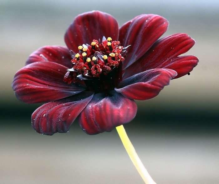 Единственный цветок в мире, который пахнет шоколадом