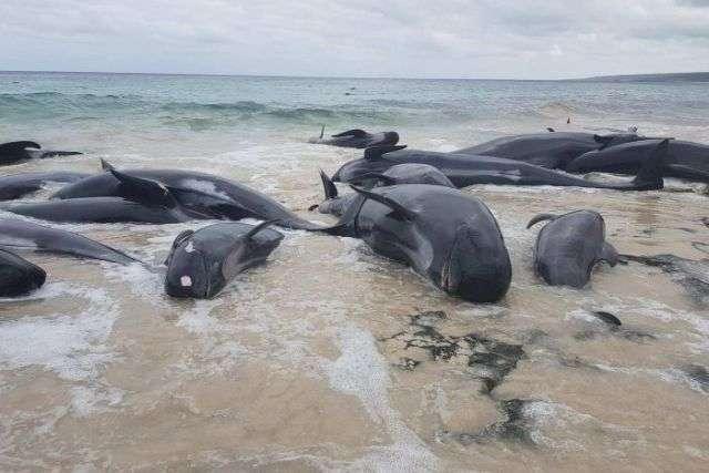 Более 130 дельфинов-гринд выбросились на побережье Австралии