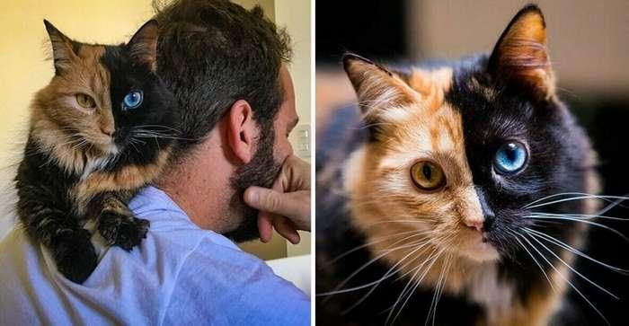 Химера — восхитительная двуликая кошка-15 фото-