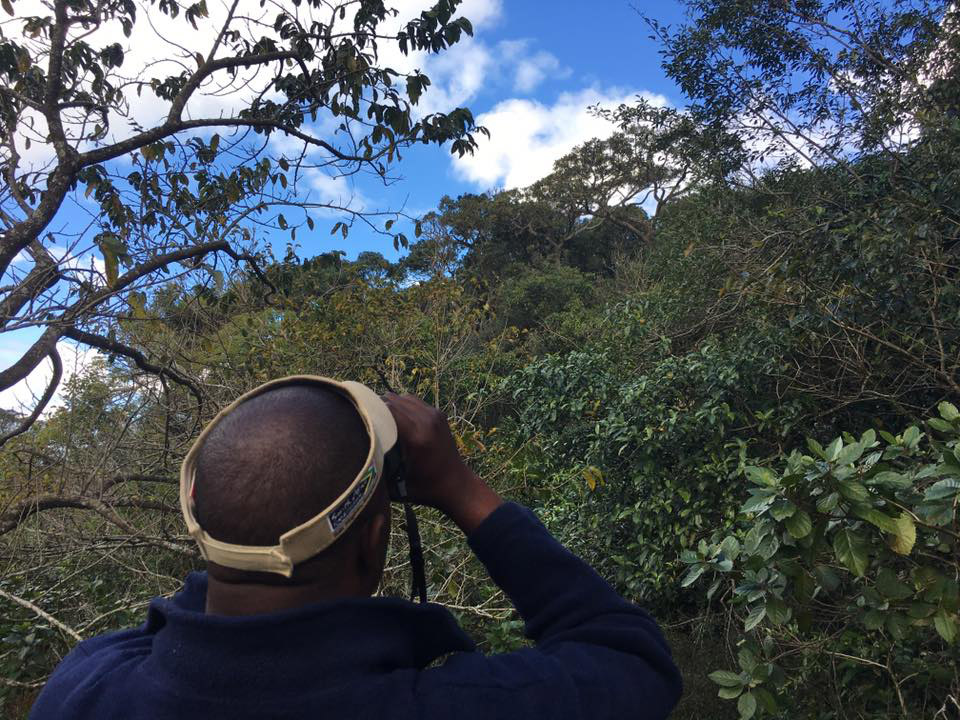 Birding guide Sakhamuzi searching Ongoye Forest for Green Barbet