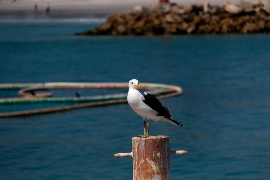 Kelp Gulll sitting on post
