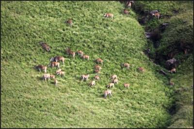 Huge herd of Eland