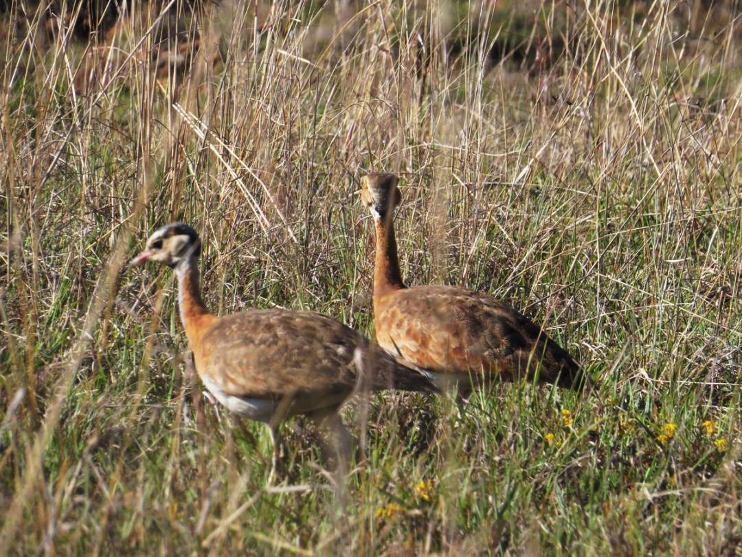 White-bellied Bustard pair