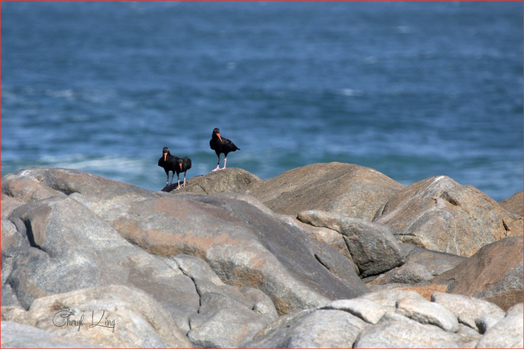 Group of African Black Oystercatchers, West Coast