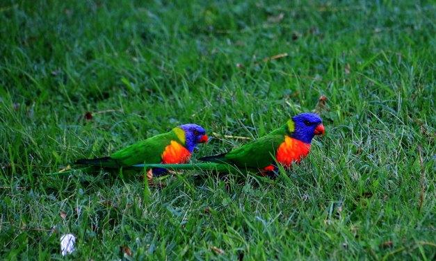 Rainbow Lorikeets – Our Noisy Neighbours