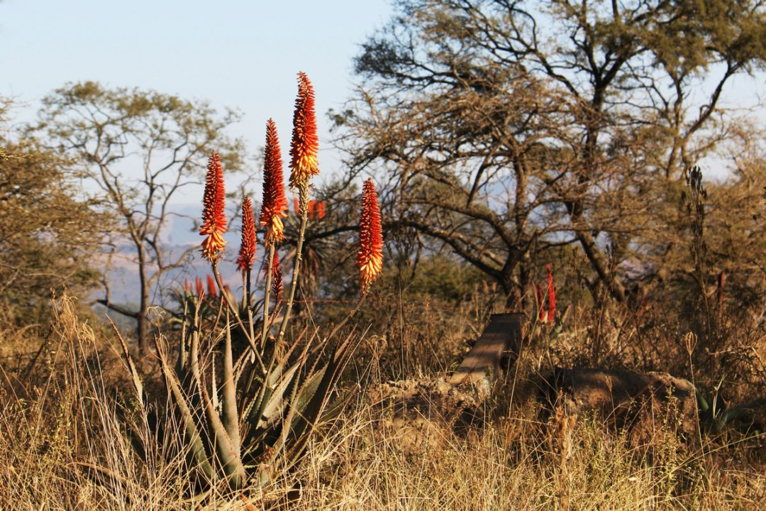 Aloes growing wild
