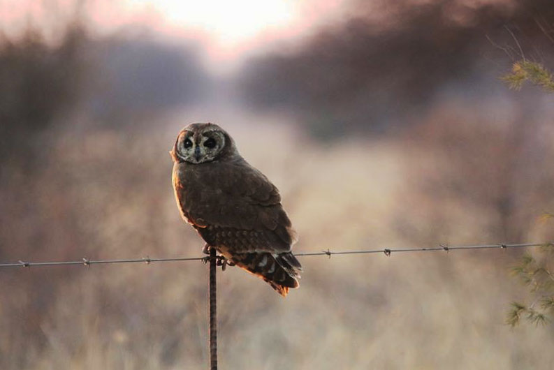 Marsh Owl sitting on fence