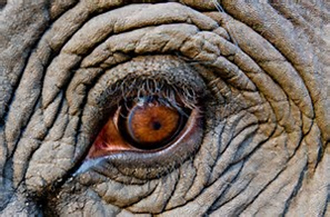 elephants big eye