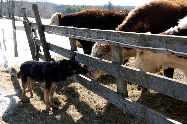 Baron, a European-bred German Shepherd from Holland, thrives as a police dog, as well as a Maine farm dog, and enjoys visiting with the cows every day.
