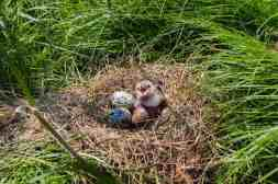 A common tern chick in its nest.