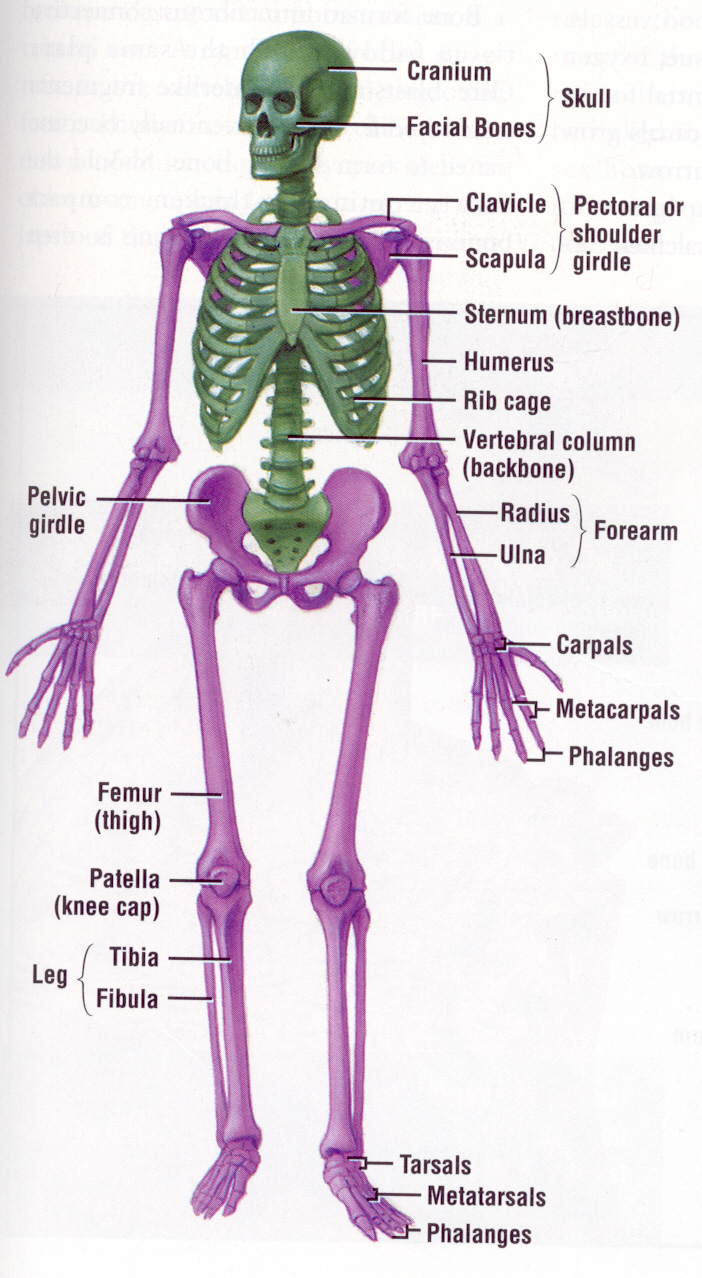 hight resolution of pin by jayme orn on classically catholic memory delta year pinterest skeletal system anatomy and physiology and anatomy