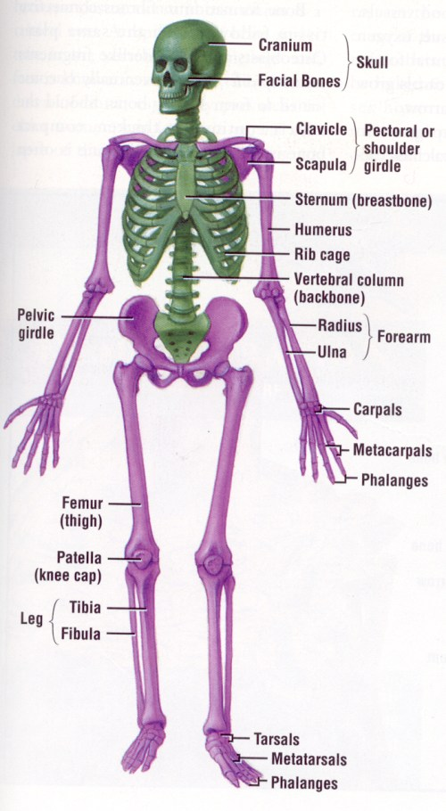 small resolution of pin by jayme orn on classically catholic memory delta year pinterest skeletal system anatomy and physiology and anatomy