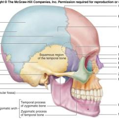 Human Skull Landmarks Diagram Capacitor Value Calculator Anthropology | Cheshire