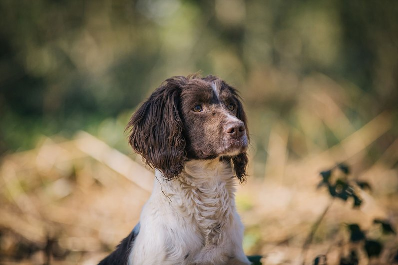 CheshireGundogs-123