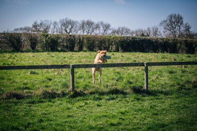 CheshireGundogs-149