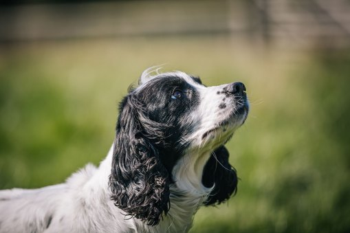 CheshireGundogs-185