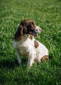 Cheshire Gundogs May