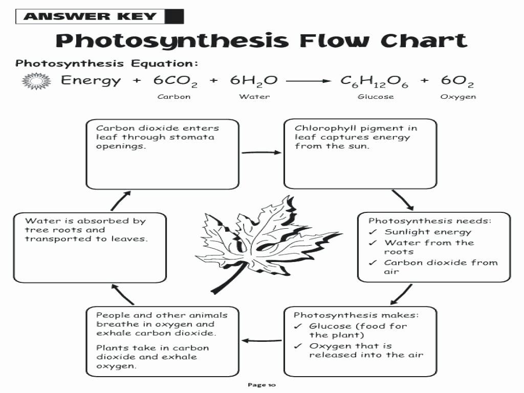 50 Photosynthesis Diagrams Worksheet Answers